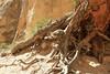 Base of large pine
