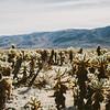 landscape of cholla cactus