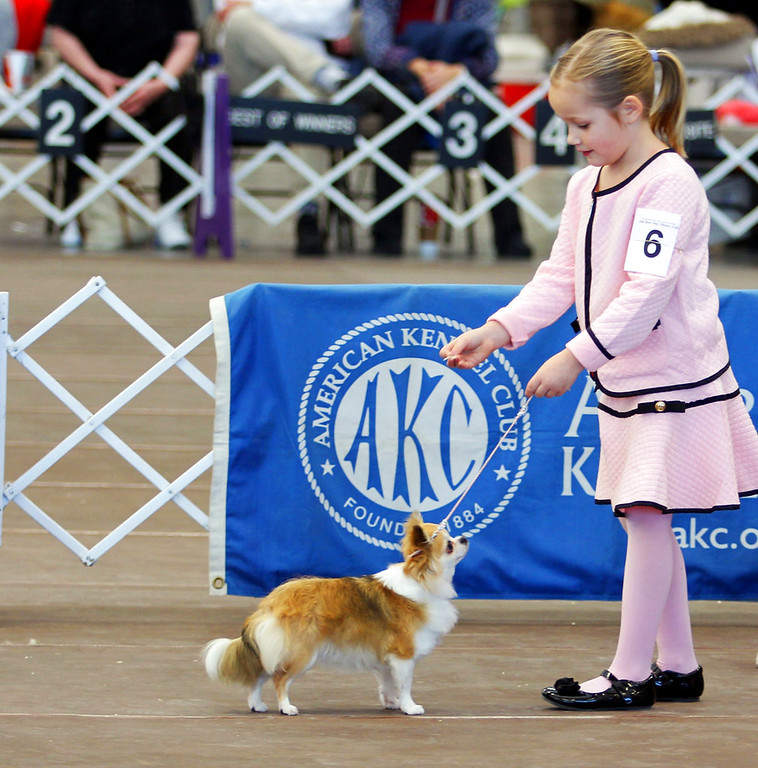 . In this Jan. 20, 2018 photo provided by Kristie Reisenweaver, Mackenzie Huston, 7, shows her long coat Chihuahua, Iridessa, at the Boardwalk Kennel Club dog show in Wildwood, New Jersey. Mackenzie isn\'t yet competing at the Westminster Kennel Club dog show, but she\'s among young dog handlers who sometimes go up against grown-ups in a sport that prizes poise and formality. (Kristie Reisenweaver via AP)