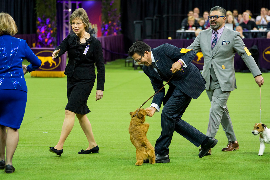 . Winston, a Norfolk terrier jumps up to handler Ernesto Lara after winning the terrier group during the 142nd Westminster Kennel Club Dog Show, Tuesday, Feb. 13, 2018, at Madison Square Garden in New York. (AP Photo/Craig Ruttle)