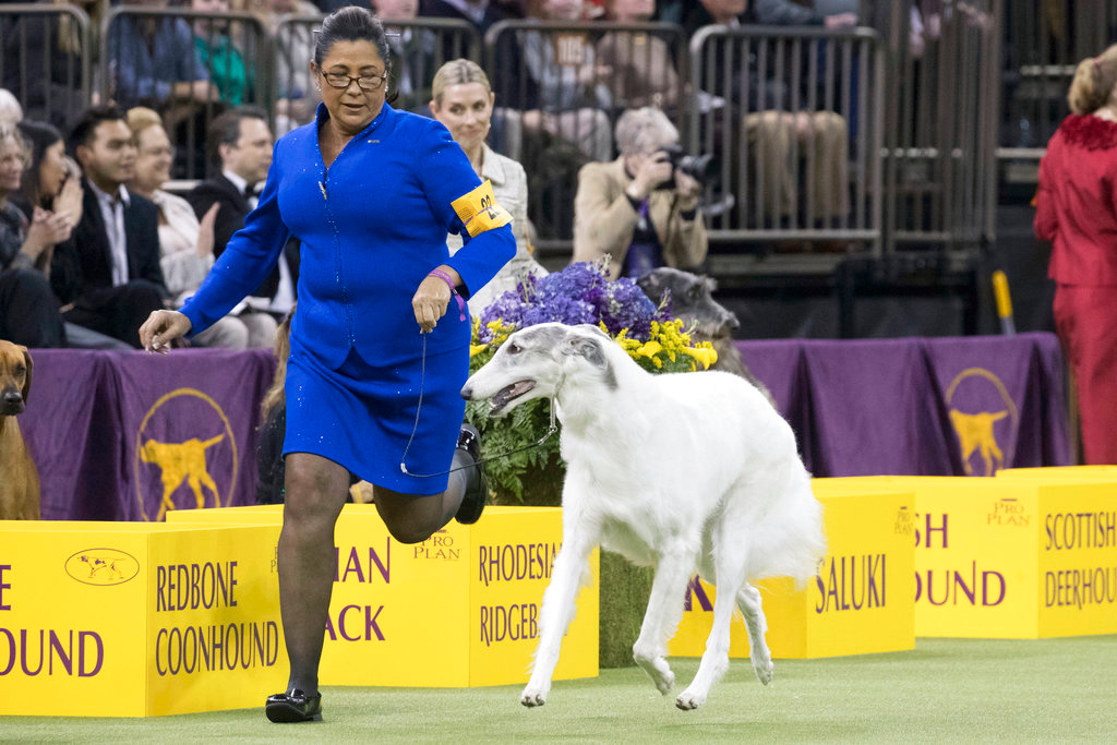 . Lucy, a borzoi, is shown in the ring by her handler Valerie Nunes-Atkinson during the Hound group competition during the 142nd Westminster Kennel Club Dog Show, Monday, Feb. 12, 2018, at Madison Square Garden in New York. Lucy won best in group. (AP Photo/Mary Altaffer)