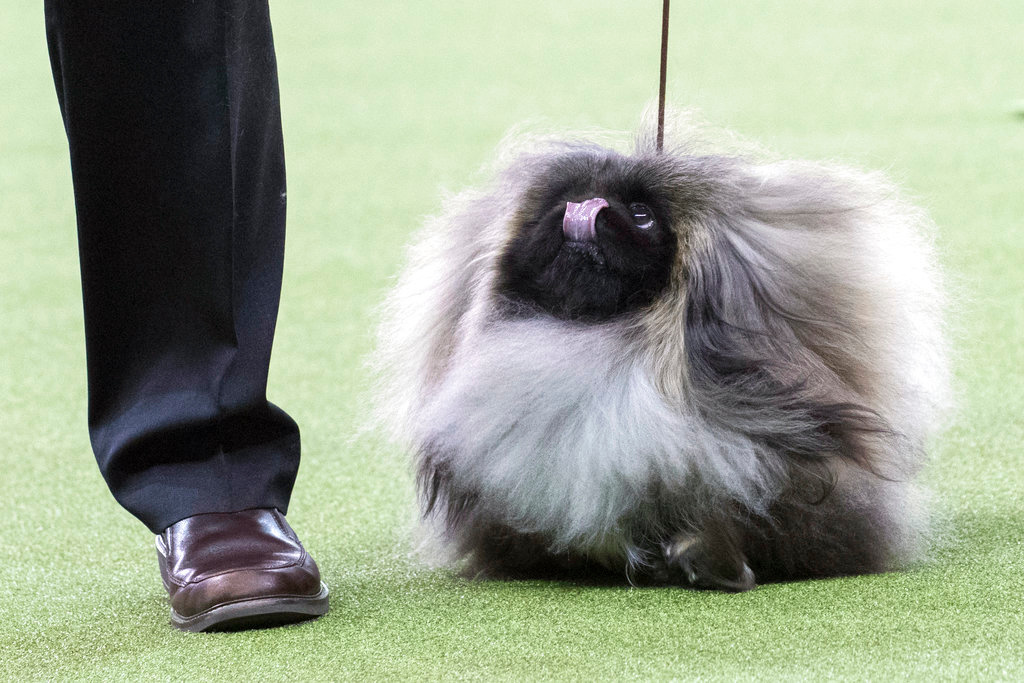 . Bernie, a Pekingese, competes in the Toy group during the 142nd Westminster Kennel Club Dog Show, Monday, Feb. 12, 2018, at Madison Square Garden in New York. (AP Photo/Mary Altaffer)