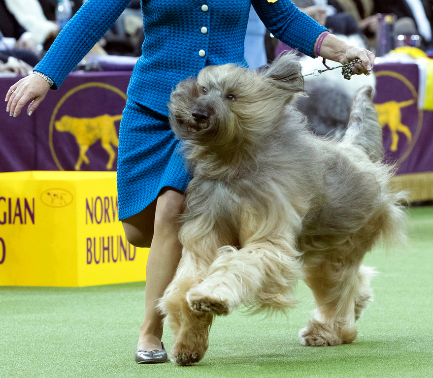 . Gibbs, a briard, competes in the herding group during the 142nd Westminster Kennel Club Dog Show, Monday, Feb. 12, 2018, at Madison Square Garden in New York. (AP Photo/Mary Altaffer)