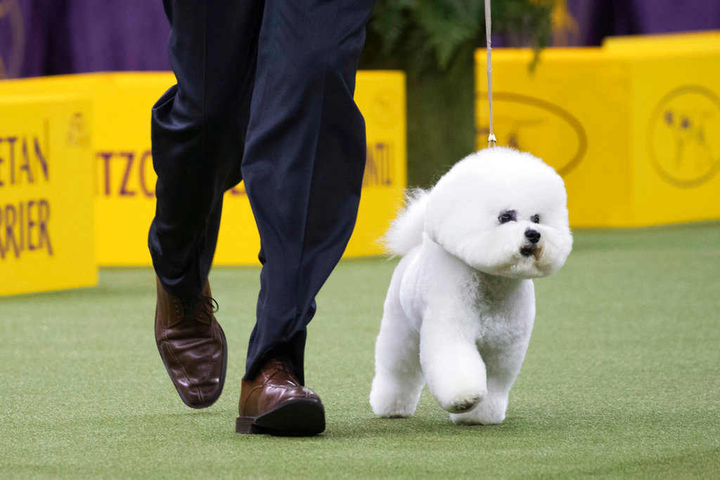 . Bill McFadden shows Flynn, a bichon frise, in the ring during the non-sporting group during the 142nd Westminster Kennel Club Dog Show, Monday, Feb. 12, 2018, at Madison Square Garden in New York. Flynn won best in the non-sporting group. (AP Photo/Mary Altaffer)