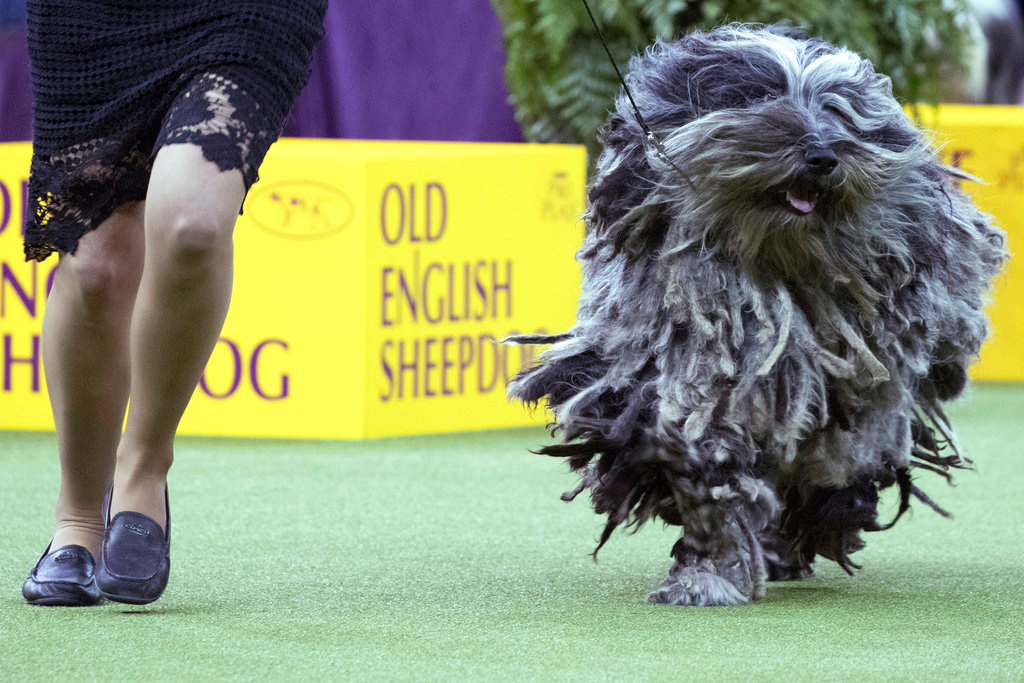 . Faggia, a Bergamasco, competes in the herding group during the 142nd Westminster Kennel Club Dog Show, Monday, Feb. 12, 2018, at Madison Square Garden in New York. (AP Photo/Mary Altaffer)
