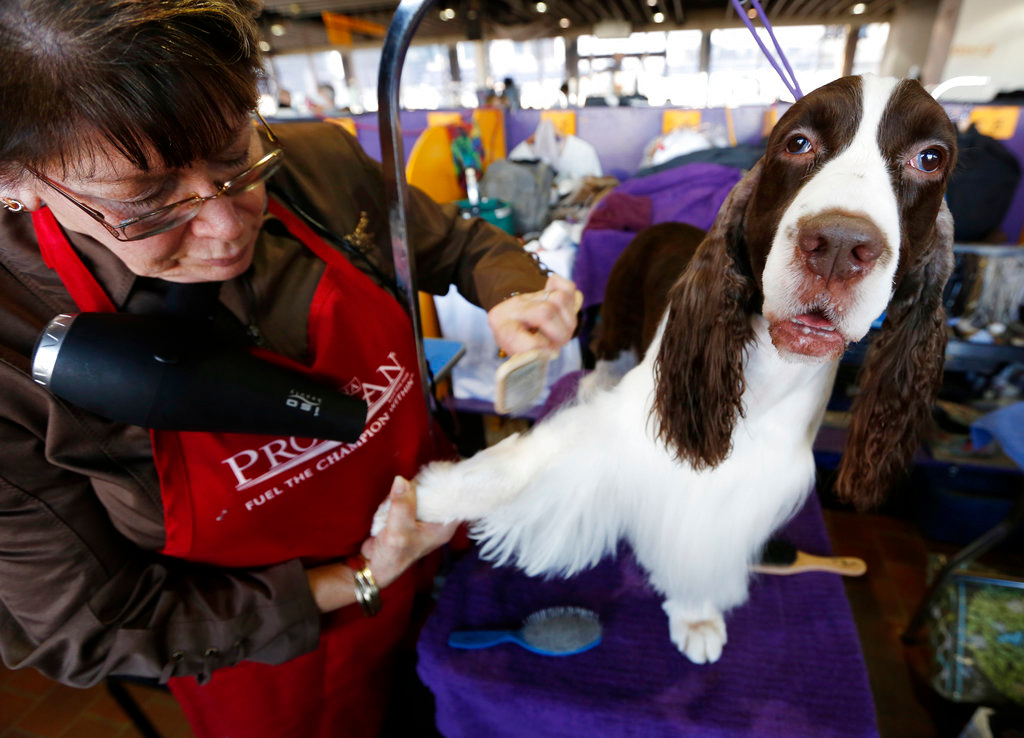 . Sharon Ouimette grooms an English springer spaniel named Beau during the 142nd Westminster Kennel Club Dog Show in New York, Tuesday, Feb. 13, 2018. (AP Photo/Seth Wenig)