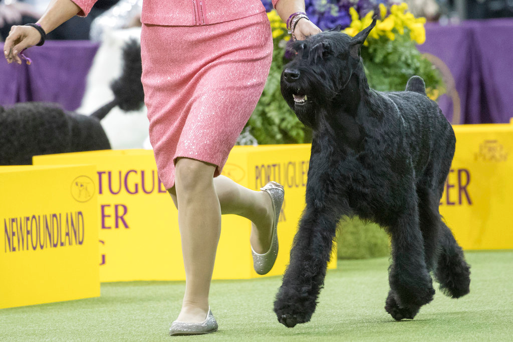 . Handler Katie Bernardin leads Ty, a giant schnauzer in the working group competition during the 142nd Westminster Kennel Club Dog Show, Tuesday, Feb. 13, 2018, at Madison Square Garden in New York. Ty won best in working group. (AP Photo/Mary Altaffer)
