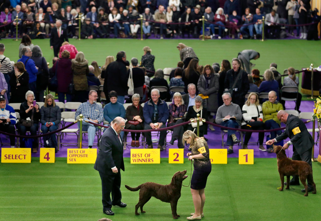 . Chesapeake Bay retrievers compete during the 142nd Westminster Kennel Club Dog Show in New York, Tuesday, Feb. 13, 2018. (AP Photo/Seth Wenig)