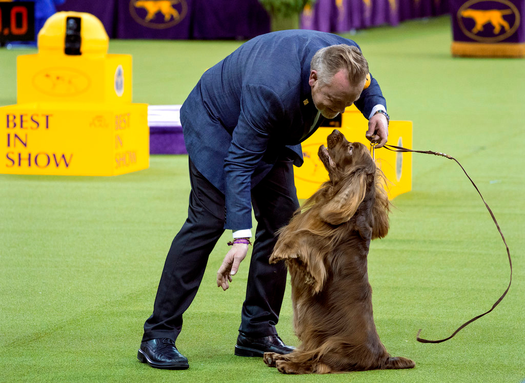 . Bean, a Sussex spaniel, sits up while performing while handled by Per Ingar Rismyhr as they participated in the Best in Show round of the 142nd Westminster Kennel Club Dog Show, Tuesday, Feb. 13, 2018, at Madison Square Garden in New York. (AP Photo/Craig Ruttle)