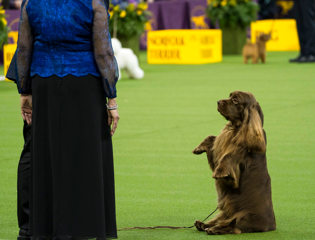 . In this photo taken Tuesday, Feb. 13, 2018, Bean, a Sussex Spaniel, sits up while performing in the Best in Show round of the 142nd Westminster Kennel Club Dog Show at Madison Square Garden in New York. (AP Photo/Craig Ruttle)