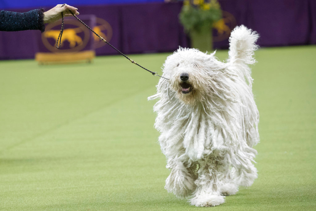 . Betty, a Komondor, competes in the working group during the 142nd Westminster Kennel Club Dog Show, Tuesday, Feb. 13, 2018, at Madison Square Garden in New York. (AP Photo/Mary Altaffer)