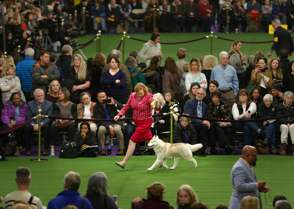 . A Siberian husky competes during the 142nd Westminster Kennel Club Dog Show in New York, Tuesday, Feb. 13, 2018. (AP Photo/Seth Wenig)