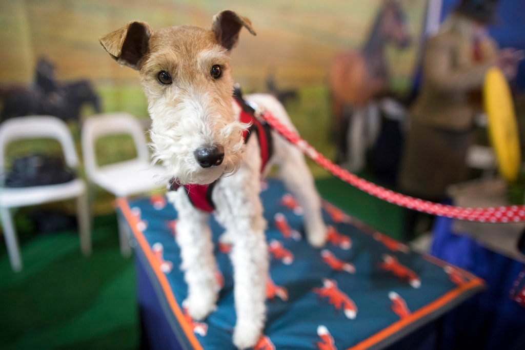 . Shamus, a wire fox terrier, is shown during the meet the breeds companion event to the Westminster Kennel Club Dog Show, Saturday, Feb. 10, 2018, in New York. (AP Photo/Mary Altaffer)