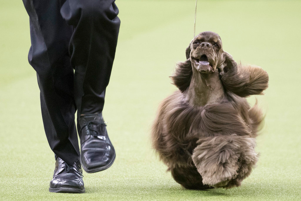 . Striker, an ASCOB cocker spaniel, competes in the sporting group during the 142nd Westminster Kennel Club Dog Show, Tuesday, Feb. 13, 2018, at Madison Square Garden in New York. (AP Photo/Mary Altaffer)