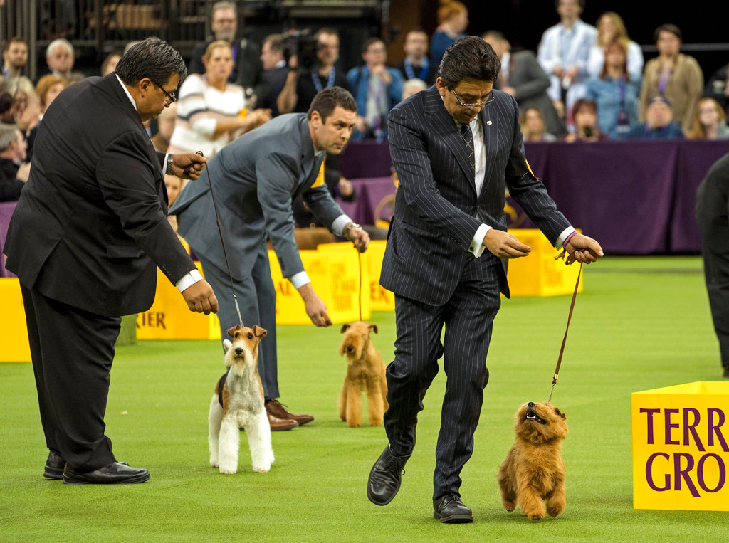. Winston, a Norfolk terrier walks with handler Ernesto Lara just before winning the Terrier group during the 142nd Westminster Kennel Club Dog Show, Tuesday, Feb. 13, 2018, at Madison Square Garden in New York. (AP Photo/Craig Ruttle)