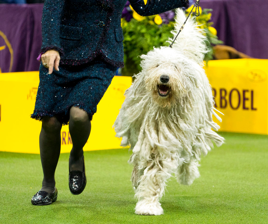 . A Komondor named Betty runs during the working group judging of the the 142nd Westminster Kennel Club Dog Show, Tuesday, Feb. 13, 2018, at Madison Square Garden in New York. (AP Photo/Craig Ruttle)