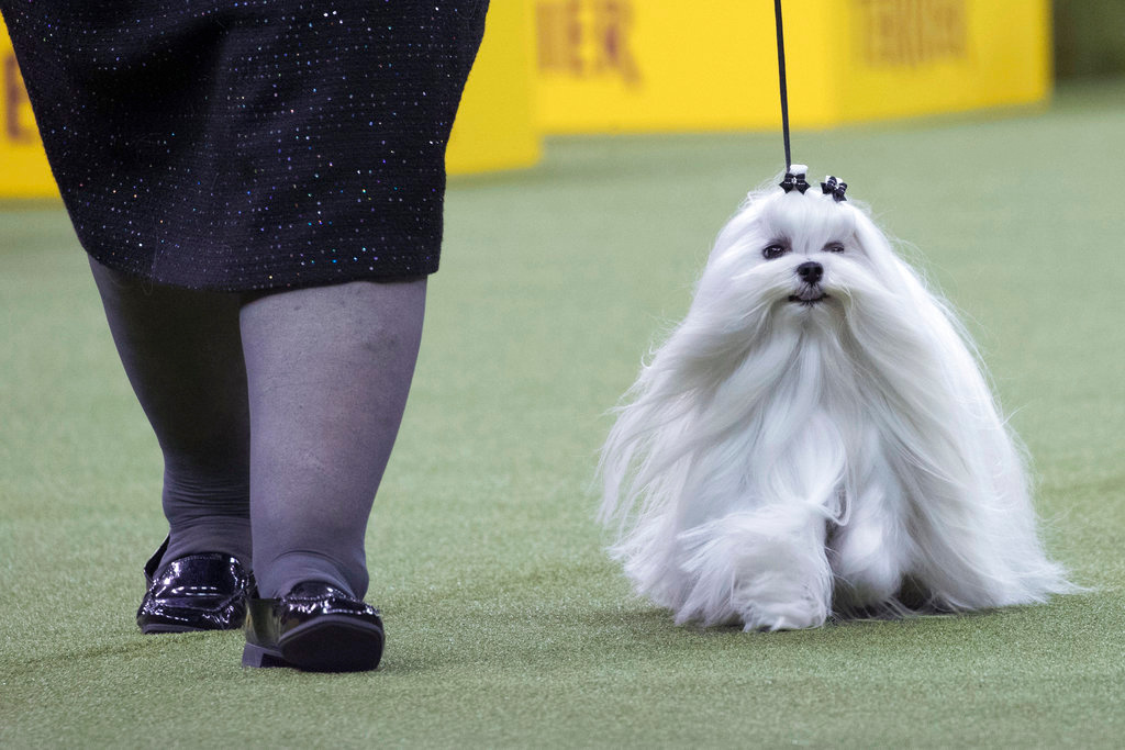 . Robyn, a Maltese, competes in the Toy group during the 142nd Westminster Kennel Club Dog Show, Monday, Feb. 12, 2018, at Madison Square Garden in New York. (AP Photo/Mary Altaffer)