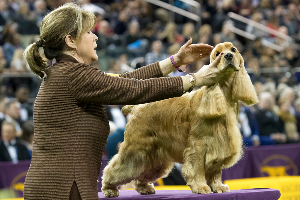 . Gordon, an English cocker spaniel competes in the sporting group during the 142nd Westminster Kennel Club Dog Show, Tuesday, Feb. 13, 2018, at Madison Square Garden in New York. (AP Photo/Mary Altaffer)
