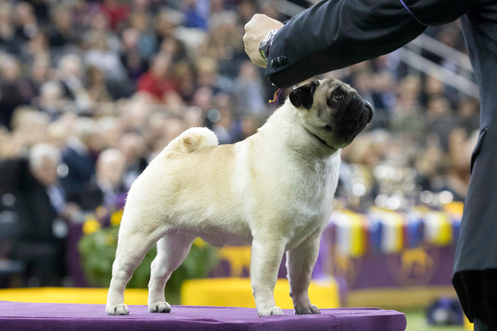 . Esteban Farias shows Biggie, a pug, in the ring during the Toy group competition during the 142nd Westminster Kennel Club Dog Show, Monday, Feb. 12, 2018, at Madison Square Garden in New York. Biggie won best in group. (AP Photo/Mary Altaffer)