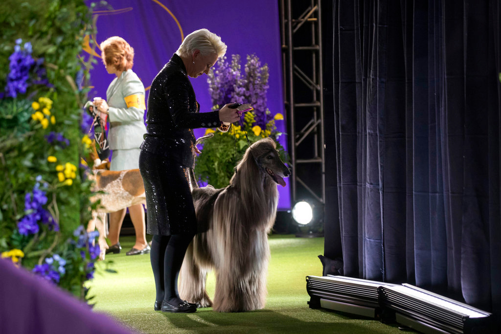 . An Afghan hound and it\'s handler wait to compete in the Hound group during the 142nd Westminster Kennel Club Dog Show, Monday, Feb. 12, 2018, at Madison Square Garden in New York. (AP Photo/Mary Altaffer)