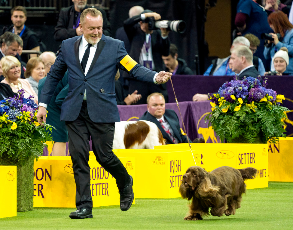 . Bean, a Sussex Spaniel, handled by Per Ingar Rismyhr, runs in the ring before winning the Sporting group during the 142nd Westminster Kennel Club Dog Show, Tuesday, Feb. 13, 2018, at Madison Square Garden in New York. (AP Photo/Craig Ruttle)