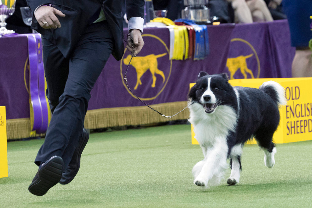 . Handler Jamie Clute shows Slick, a border collie, in the ring during the herding group competition during the 142nd Westminster Kennel Club Dog Show, Tuesday, Feb. 13, 2018, at Madison Square Garden in New York. Slick won best in the herding group. (AP Photo/Mary Altaffer)