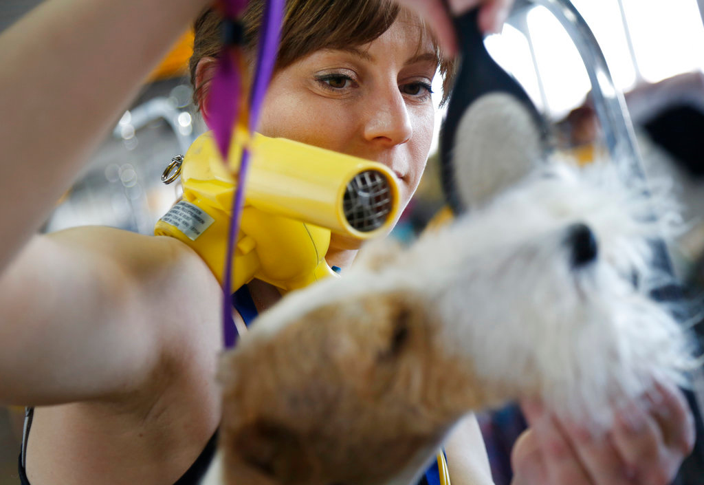 . Kristen Falterman grooms her Wire Fox Terrier named Spiffy during the 142nd Westminster Kennel Club Dog Show in New York, Tuesday, Feb. 13, 2018. (AP Photo/Seth Wenig)
