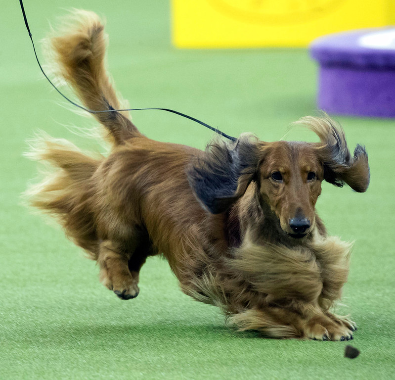 . A dachshund keeps his eye on a treat as he competes in the Hound group during the 142nd Westminster Kennel Club Dog Show, Monday, Feb. 12, 2018, at Madison Square Garden in New York. (AP Photo/Mary Altaffer)