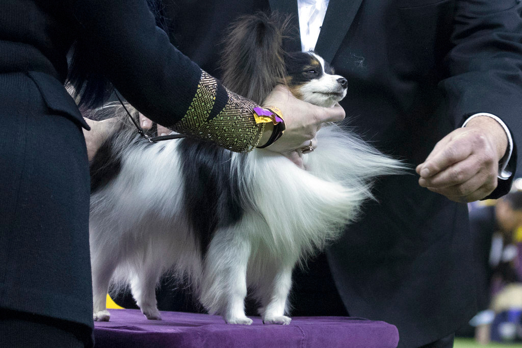 . Mickey, a papillon, is inspected by the judge during competition in the Toy group during the 142nd Westminster Kennel Club Dog Show, Monday, Feb. 12, 2018, at Madison Square Garden in New York. (AP Photo/Mary Altaffer)