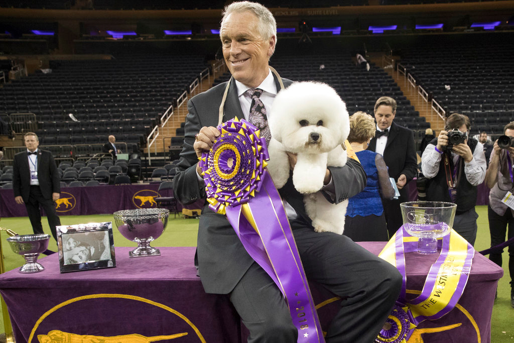 . Handler Bill McFadden poses for photos with Flynn, a bichon frise, after Flynn won best in show during the 142nd Westminster Kennel Club Dog Show, Tuesday, Feb. 13, 2018, at Madison Square Garden in New York. (AP Photo/Mary Altaffer)