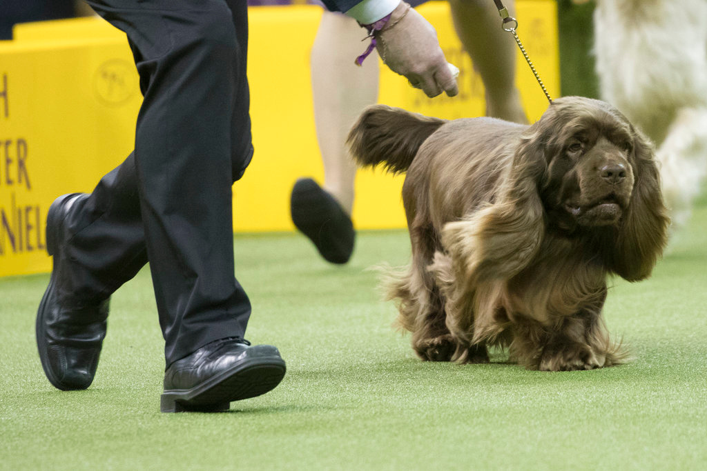 . Handler Per Ingar Rismyhr shows Bean, a Sussex spaniel in the ring during the sporting group during the 142nd Westminster Kennel Club Dog Show, Tuesday, Feb. 13, 2018, at Madison Square Garden in New York. Bean won best in sporting group. (AP Photo/Mary Altaffer)