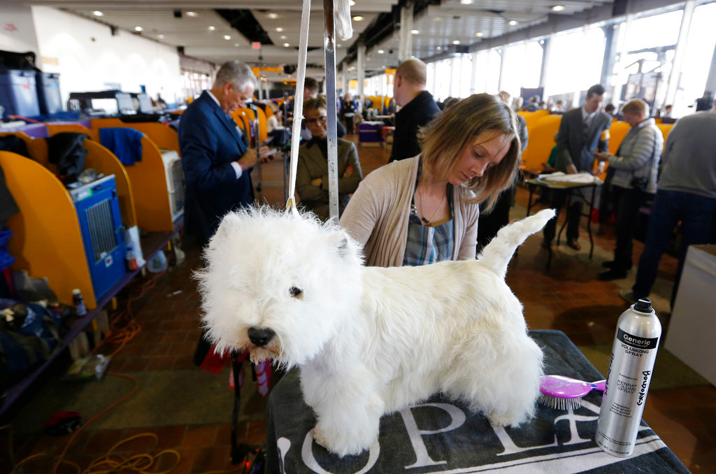 . Kate Murray grooms a west highland white terrier named Pumpkin during the 142nd Westminster Kennel Club Dog Show in New York, Tuesday, Feb. 13, 2018. (AP Photo/Seth Wenig)