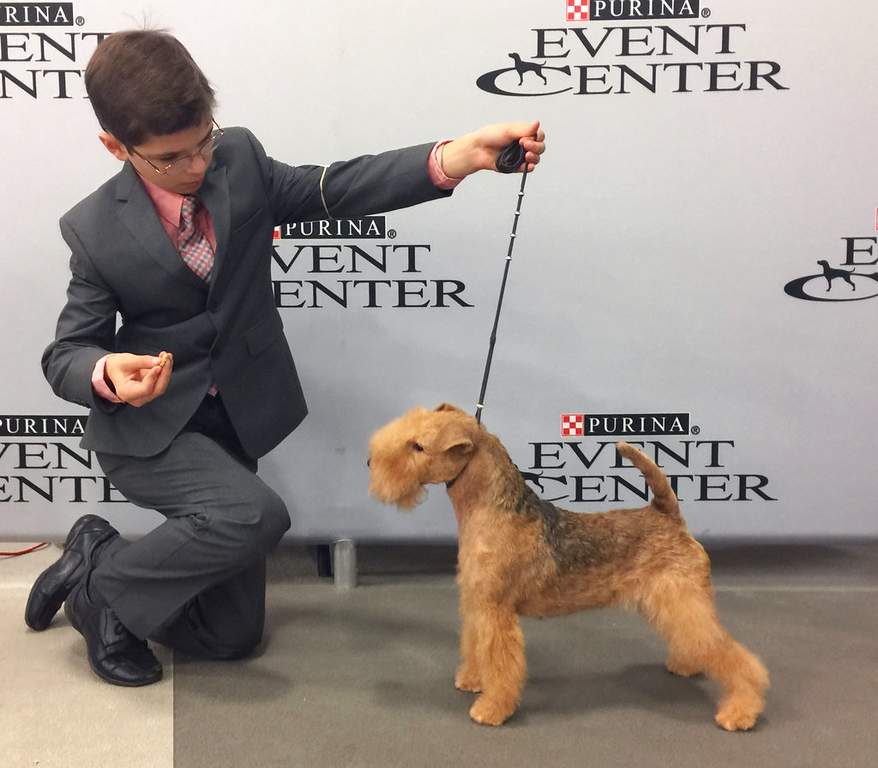 . In this Sept. 2017 photo provided by Alysha Towell, eleven-year-old Fenric Towell kneels with his Lakeland terrier, Missy, on lead, at Purina Farms in Grey Summit, Mo. The Westminster Kennel Club competition is best known for the dog crowned Best in Show, but it\'s also a showcase for young handlers who sometimes go up against grown-ups. (Alysha Towell via AP)