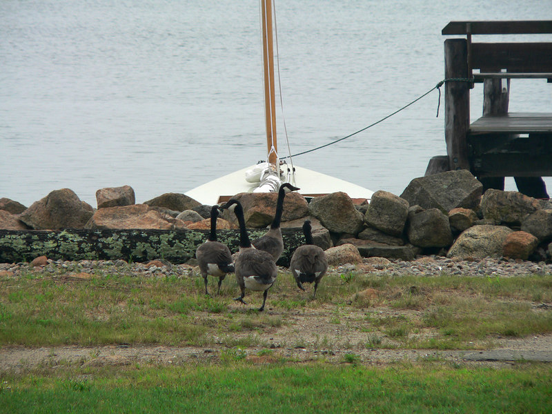 Scram.  Too many Canada Geese make too much mess on the lawn.  But they are fun to watch.