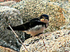 This is one of a few baby swallows on the seawall who were being fed by parents.  This one didn't look any too happy with me.