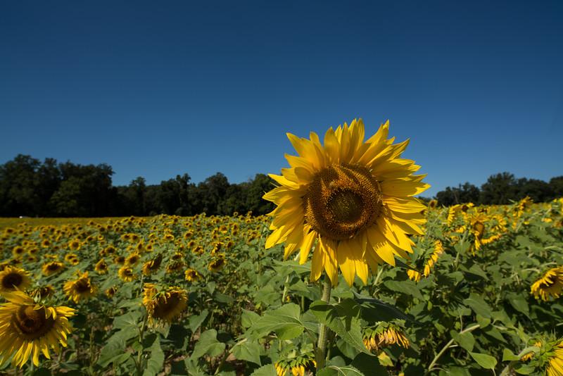 Sun Flower Field