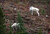 Female Mountain Goat and Her Baby