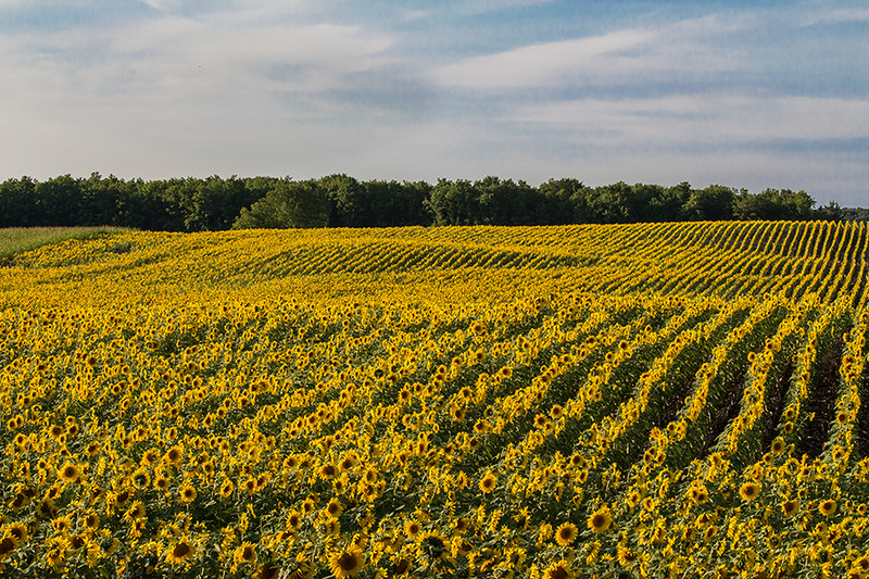 Acres of Michigan Sunflowers