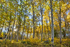 Aspen Forest on the Shores of Pyramid Lake