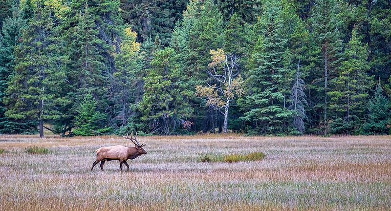Bull Elk Outside Jasper