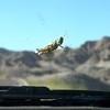 Plains Hopper - Badlands