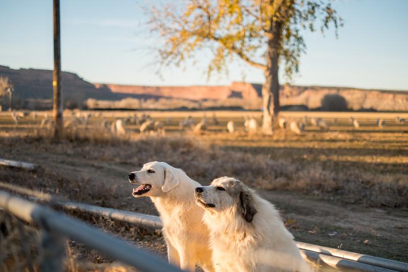 Sheepdogs!