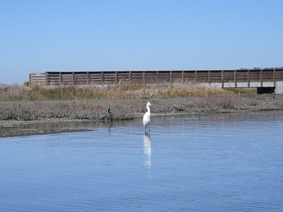 A snowy egret watches with curiosity at the edge of Granger's Lagoon.