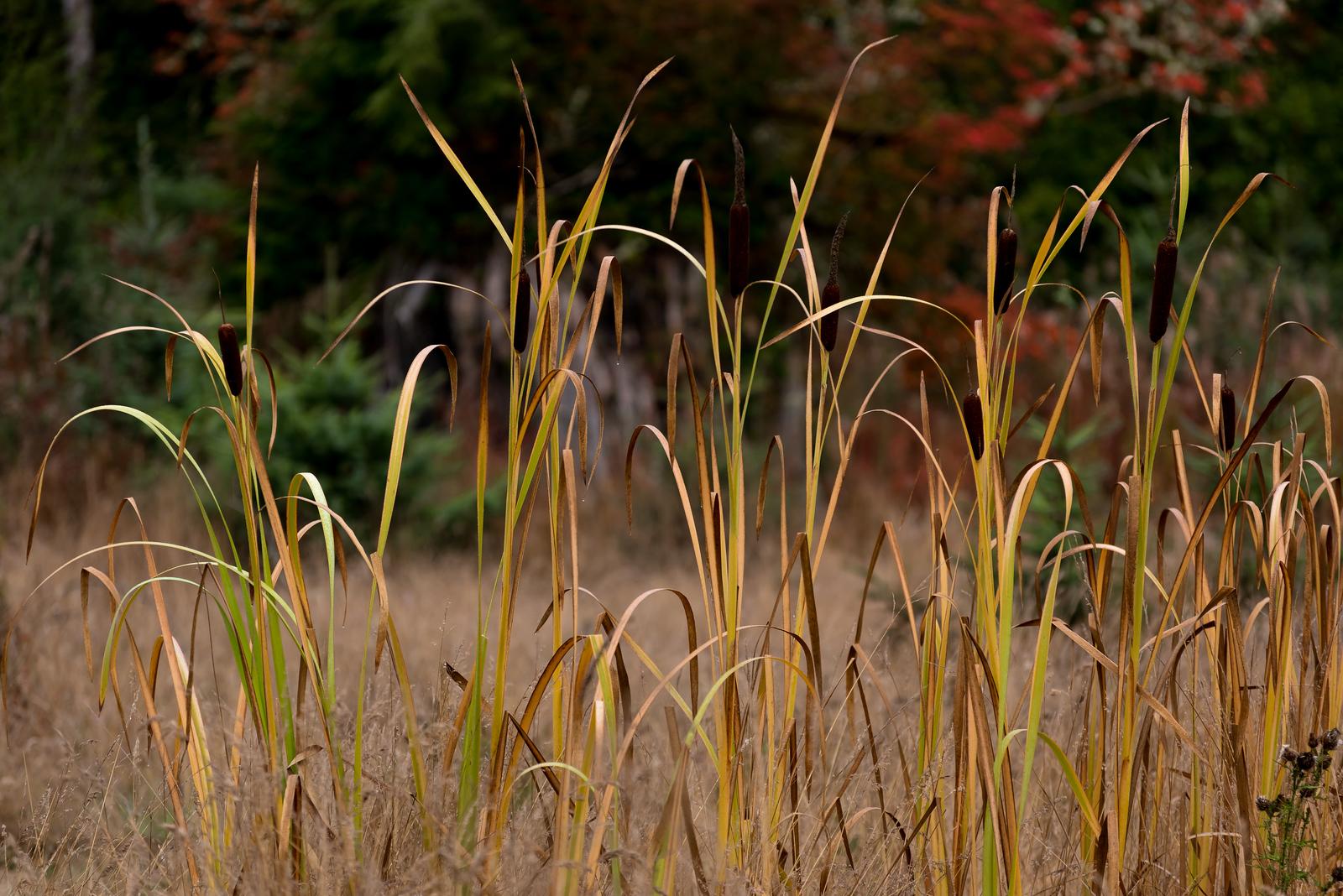 Cattails, Joyce Valley, Washington