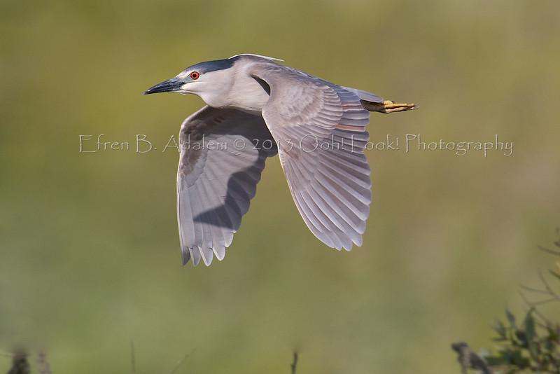 Black-crowned Night Heron Harkins Slough