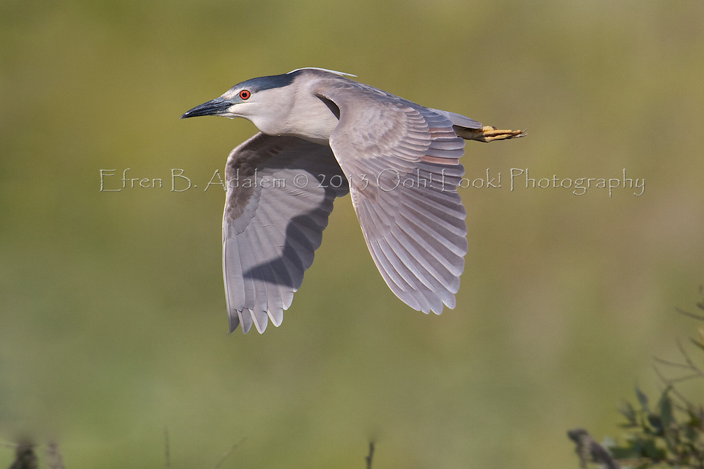 Black-crowned Night Heron Harkins Slough