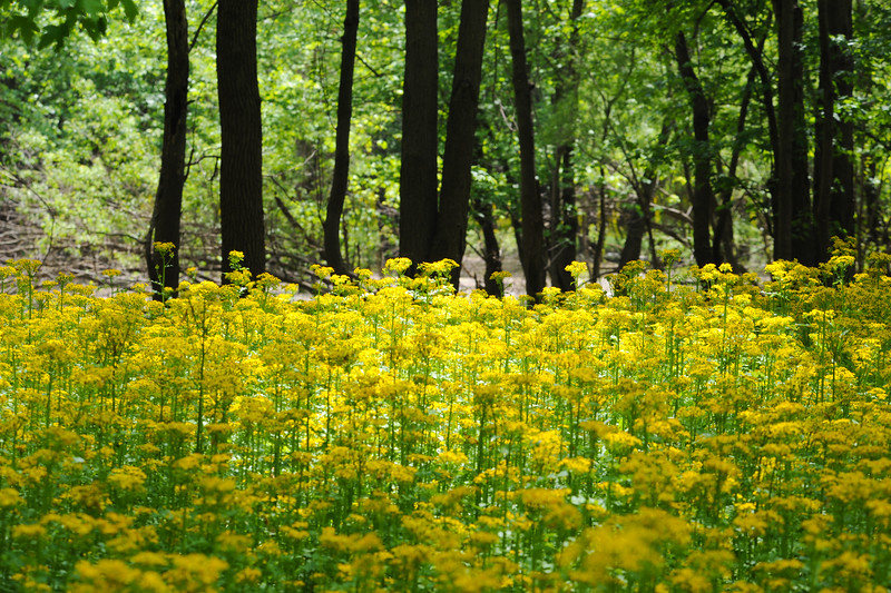 Butterweed in the Wabashiki Wetlands Vigo County off of the levee road