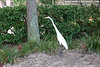 Snowy egret in front of the Rosen Centre, eating lizards off of a tree