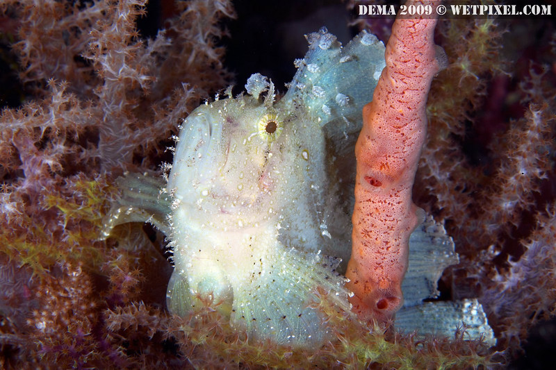 Leaf scorpionfish (Taenianotus triacanthus), Indonesia (photo: Eric Cheng)