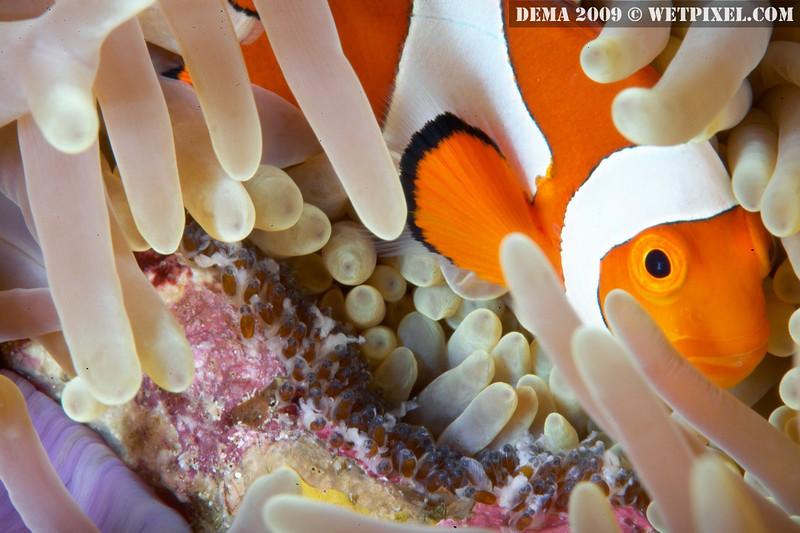 False percula clownfish (Amphiprion ocellaris), with eggs, Indonesia (photo: Eric Cheng)